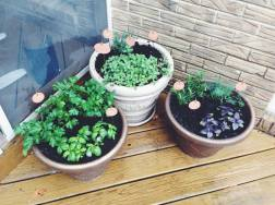 Just need another purple basil and our lemon thyme