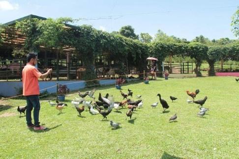Birds and chicken
