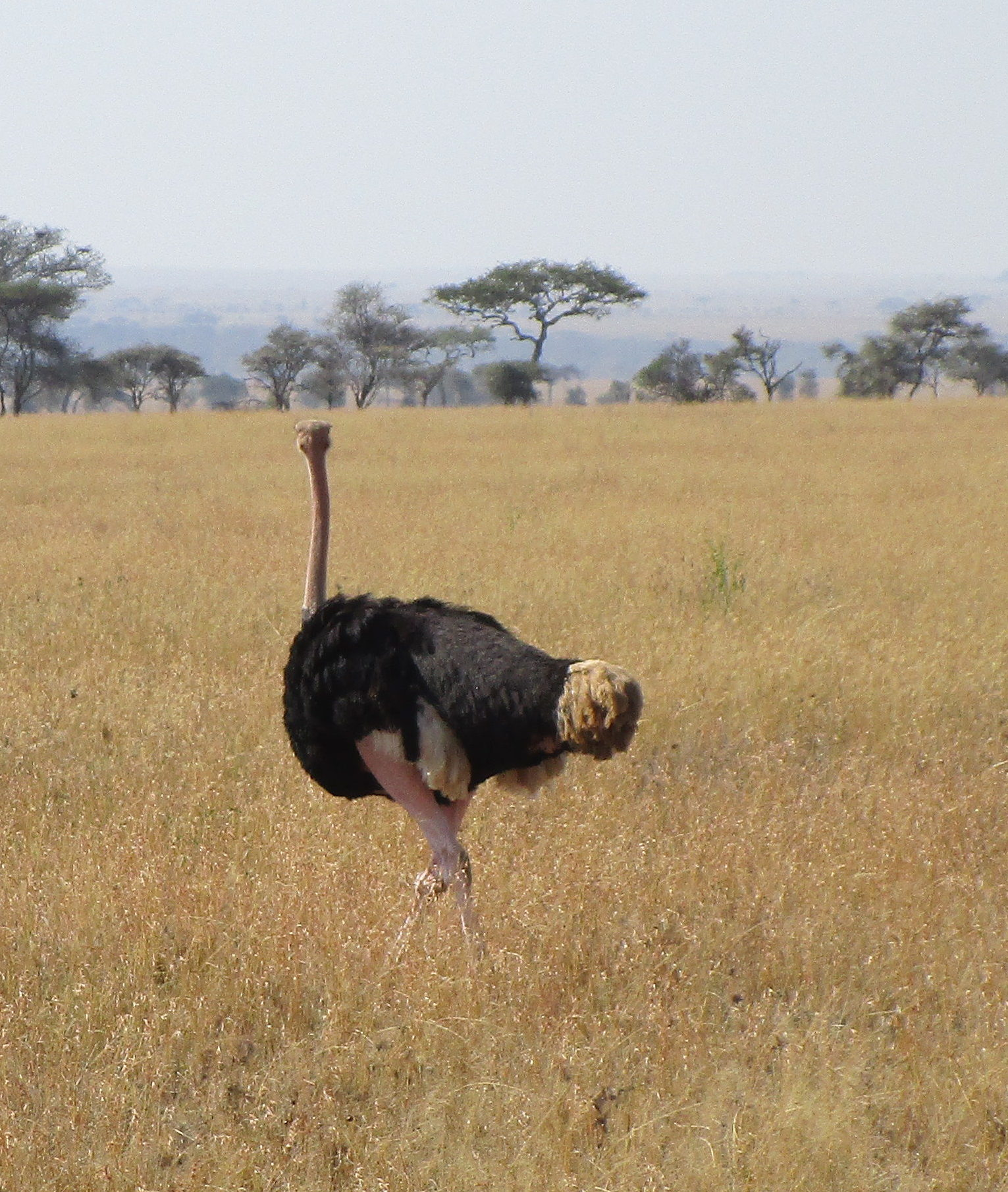 Ostrich Serengeti National Park