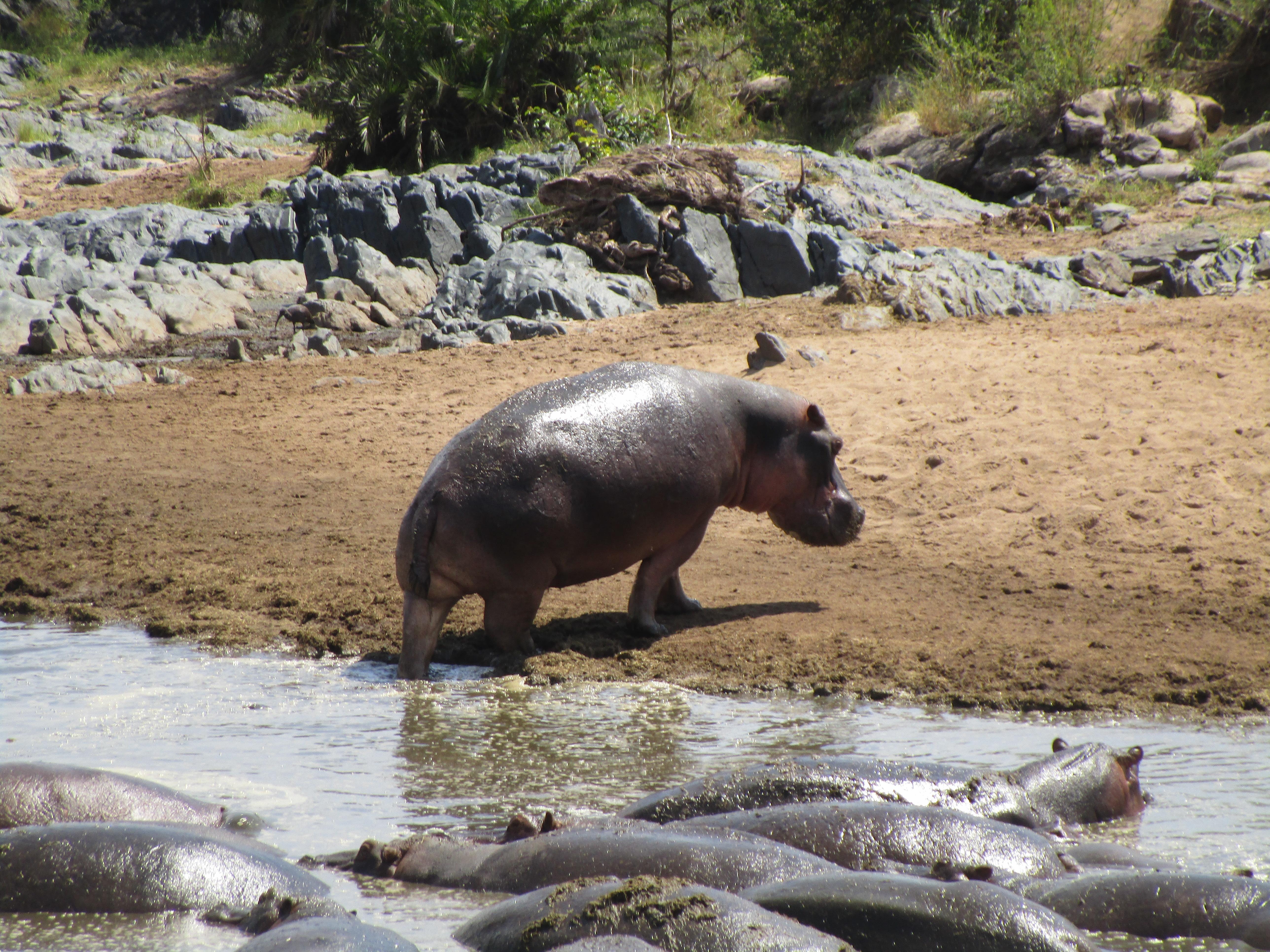 Hippo Serengeti National Park