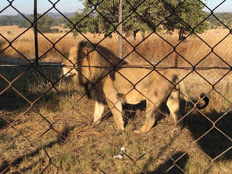 Africa - Zimbabwe - Imire Game Park - lion