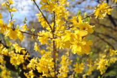 Folies jaunes