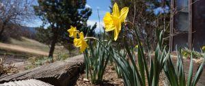 2015_03_27_Daffodils_DSC04236_homepage_3