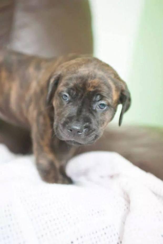 Bernie puppy
