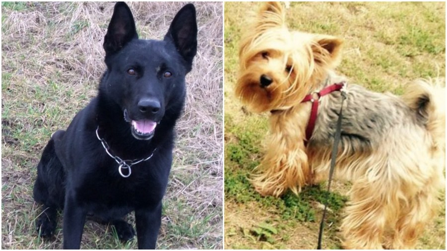 Lincolnshire Police dog Falco (left) has been put down after attacking Terrier Barbie. Photos: Lincolnshire Police and Charles Giermak