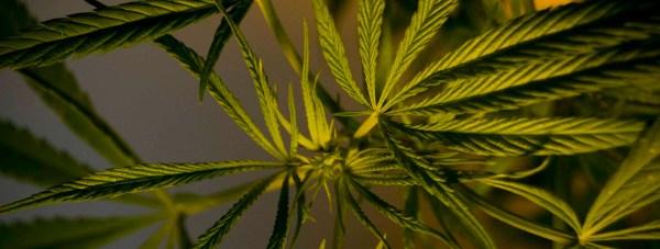 Cannabis-DJ-Kettle