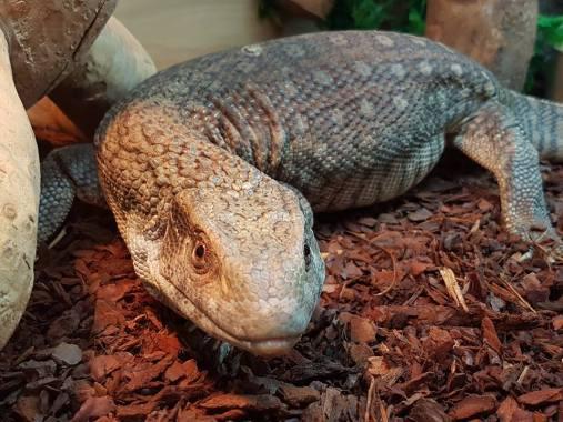 Bosc monitor. Photo: Lincoln Reptile and Pet Centre
