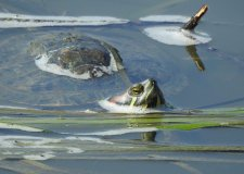 Turtley cool reptile spotted in Lincoln waters