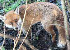 Lucky escape for fox caught in snare trap near Lincoln