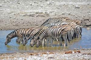 Zebras in Etosha National Park, Namibia, Africa.