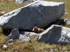 Marmots prefer to live at altitudes over 10,000 feet in the Sierra Nevada Mountain Range.
