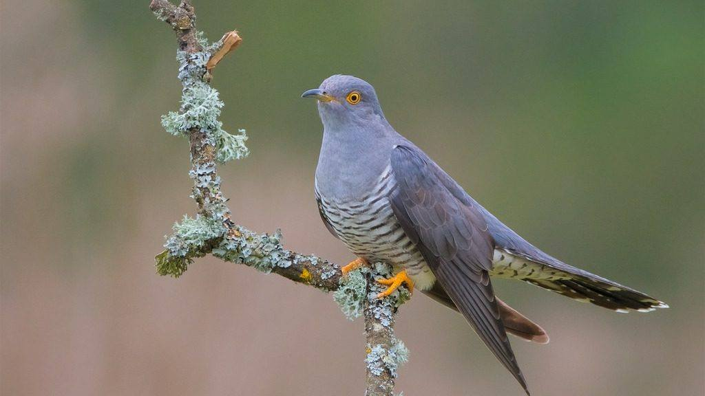 Mahler and the Cuckoo