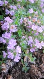 Flowering thyme in my rock garden
