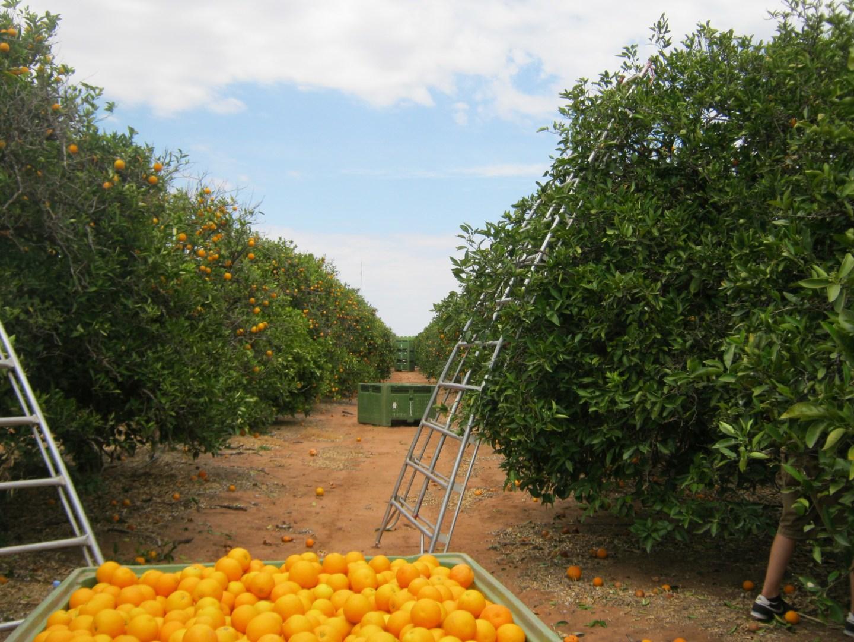 The First Week of Orange Picking