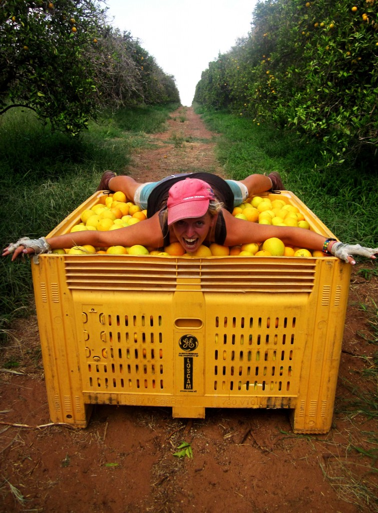 Orange Picking in South Australia