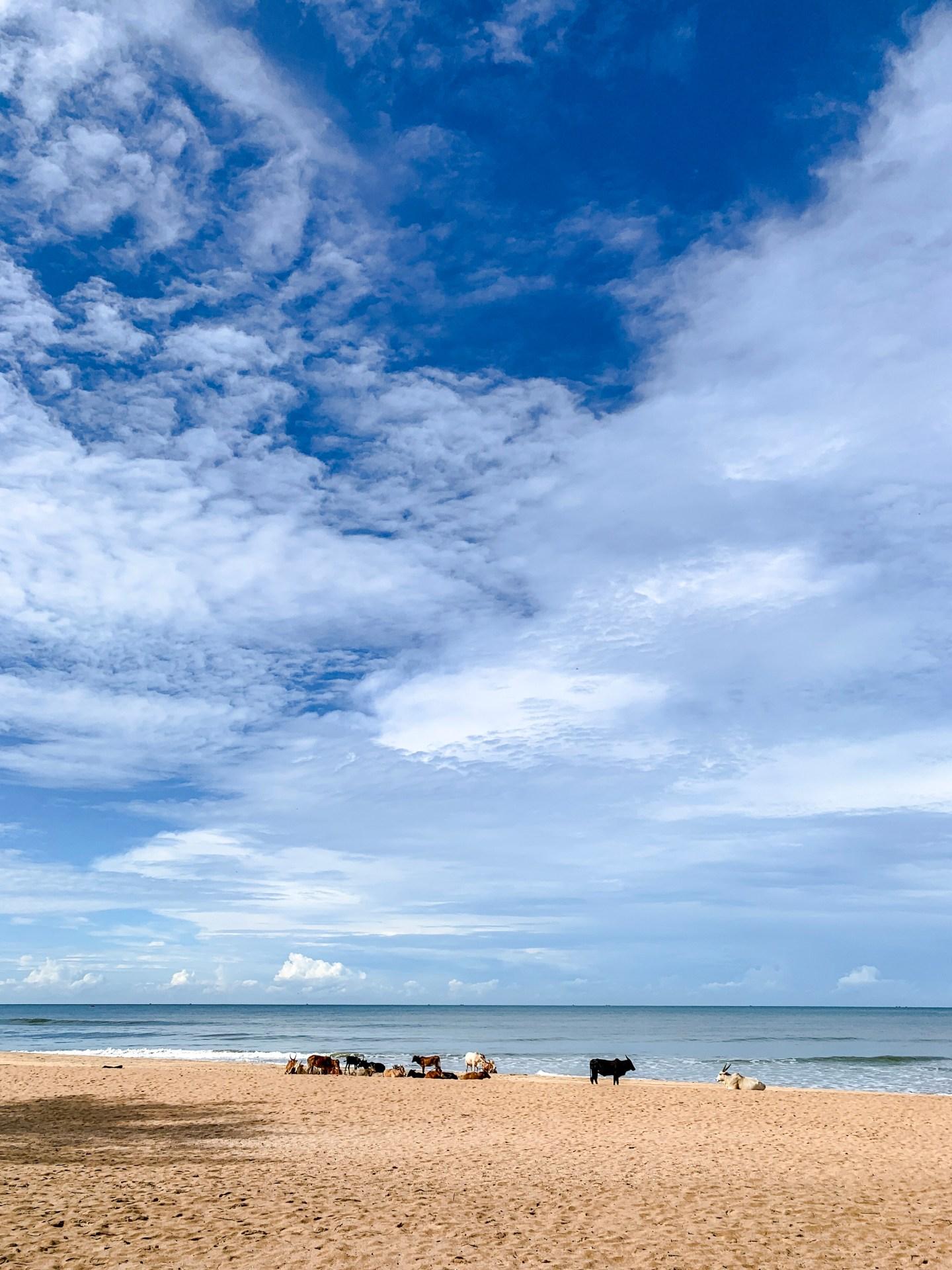 Agonda Beach Cows