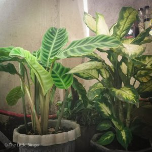 This Is How The Pandemic Made Me A Plantito | The Little Binger