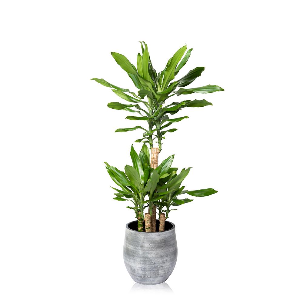 Large Dracaena Houseplant Large Houseplants Online Uk