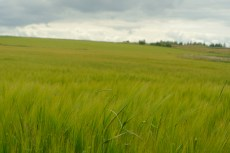 Green fields waving in the wind