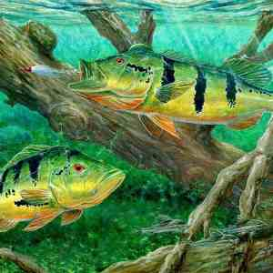 peacock-bass-fishing-on-canvas-wallpaper-hd-wallpapers13-800×800