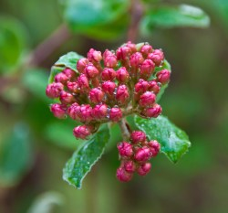 Changing Seasons: Viburnum Buds