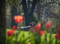 Hiding behind the tulips
