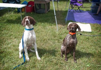 Bailey and her GSP friend, Flyer!
