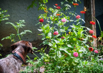 Bella points at a monarch butterfly