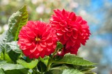 Red Dahlias (potted annuals)