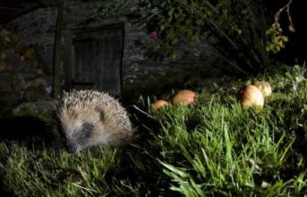 Foraging hedgehog