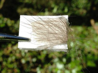 Captured Pine Marten fur