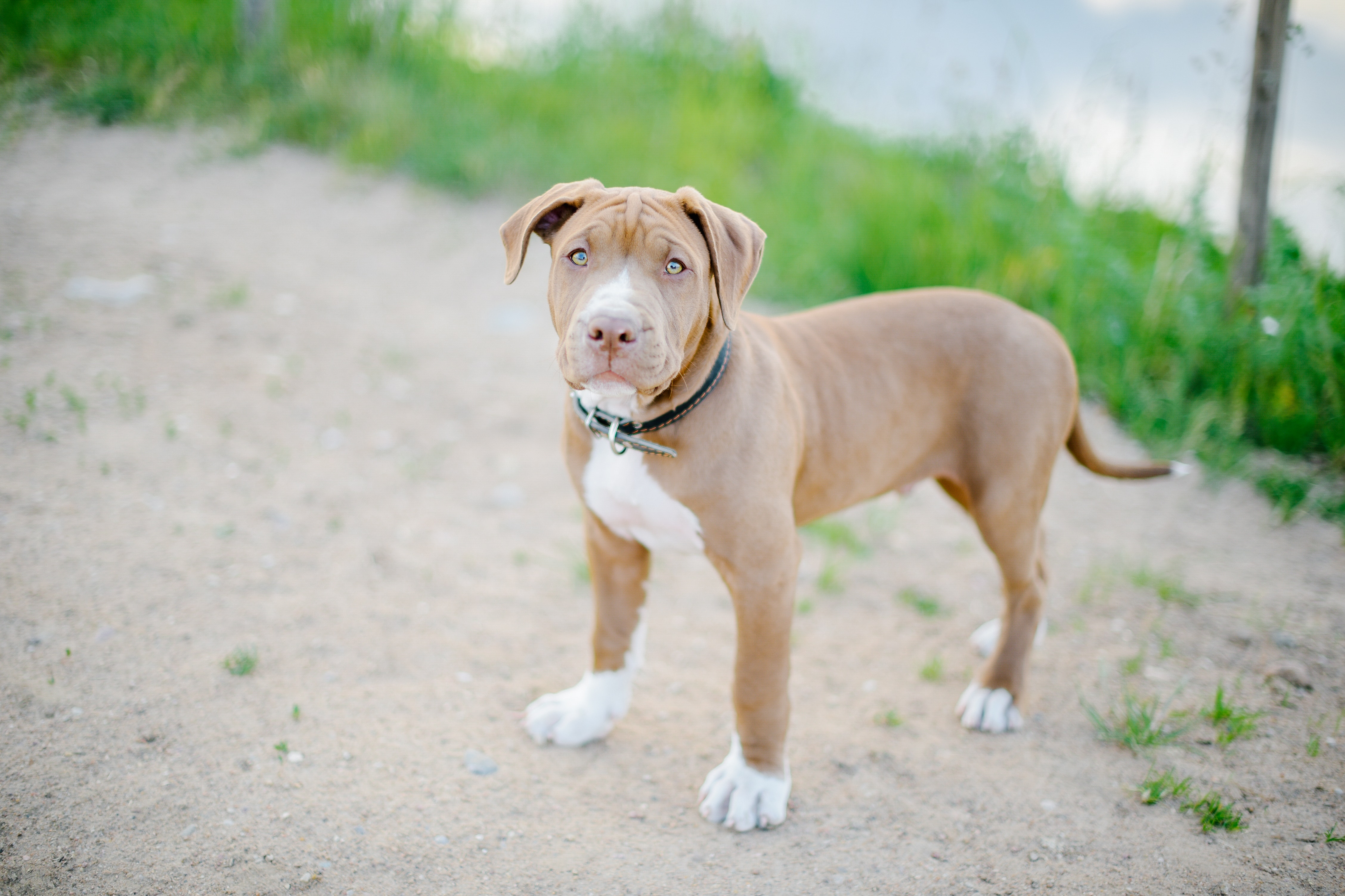 Pitbulls: Everything You Need To Know