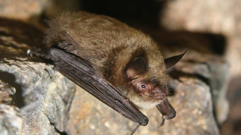 WNS White nose syndrome affecting bats