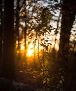 Golden dawn light breaking through trees on path