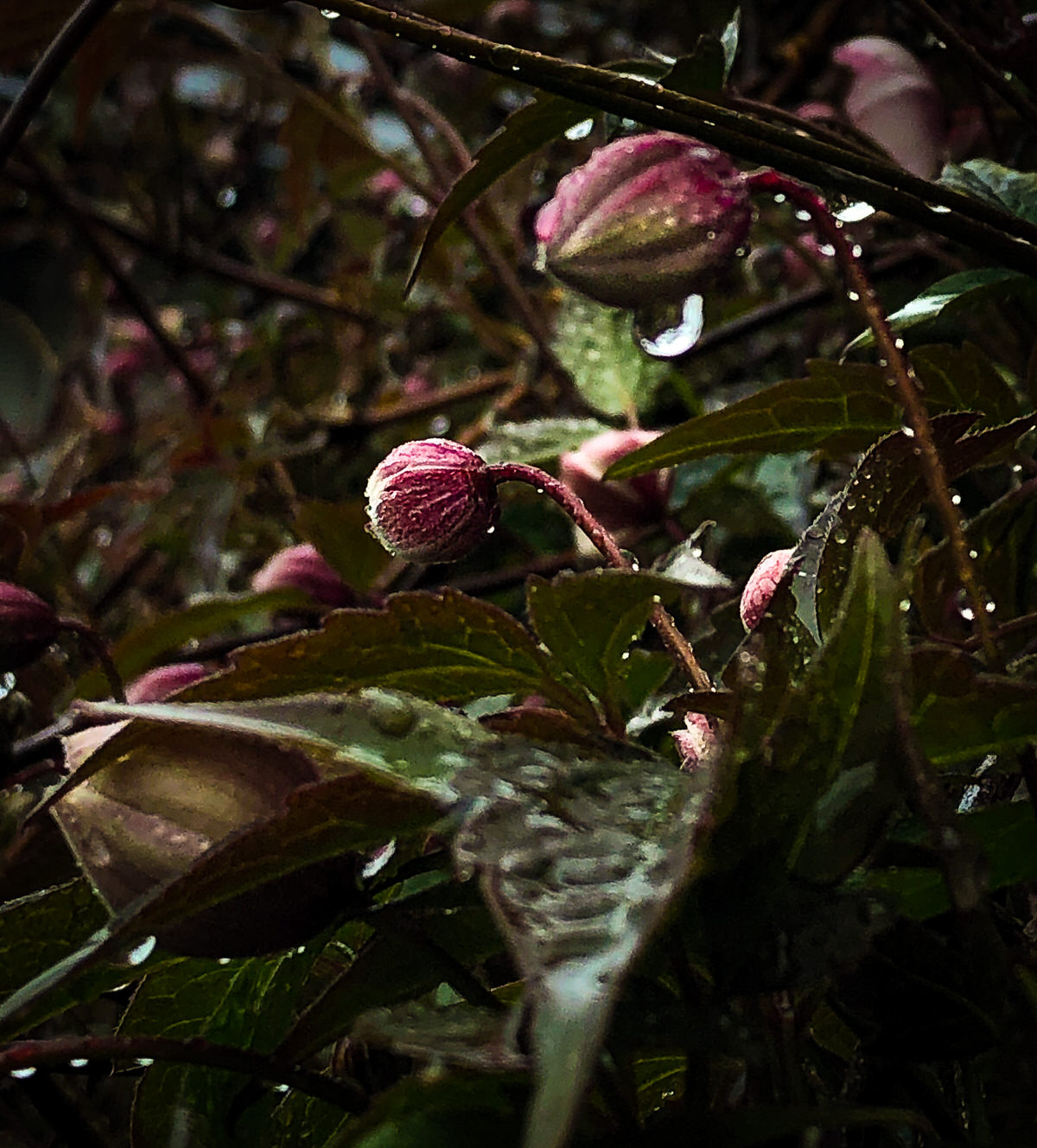 Clematis buds in the rain