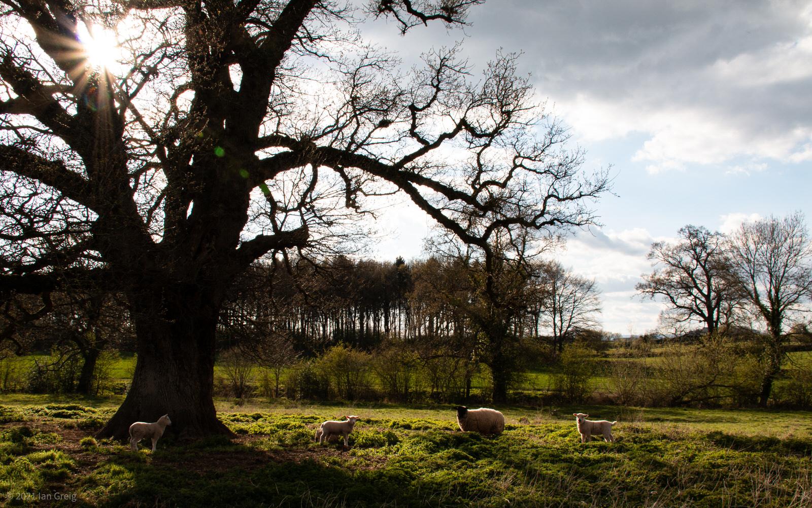 Lambs in sunset under oak tree