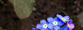 Forget-me-not blue cluster macro