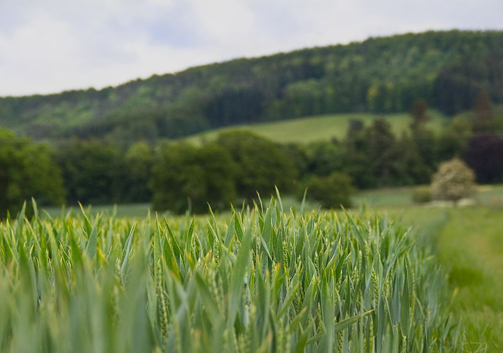 Growing wheat with full green ears and a hint of yellow