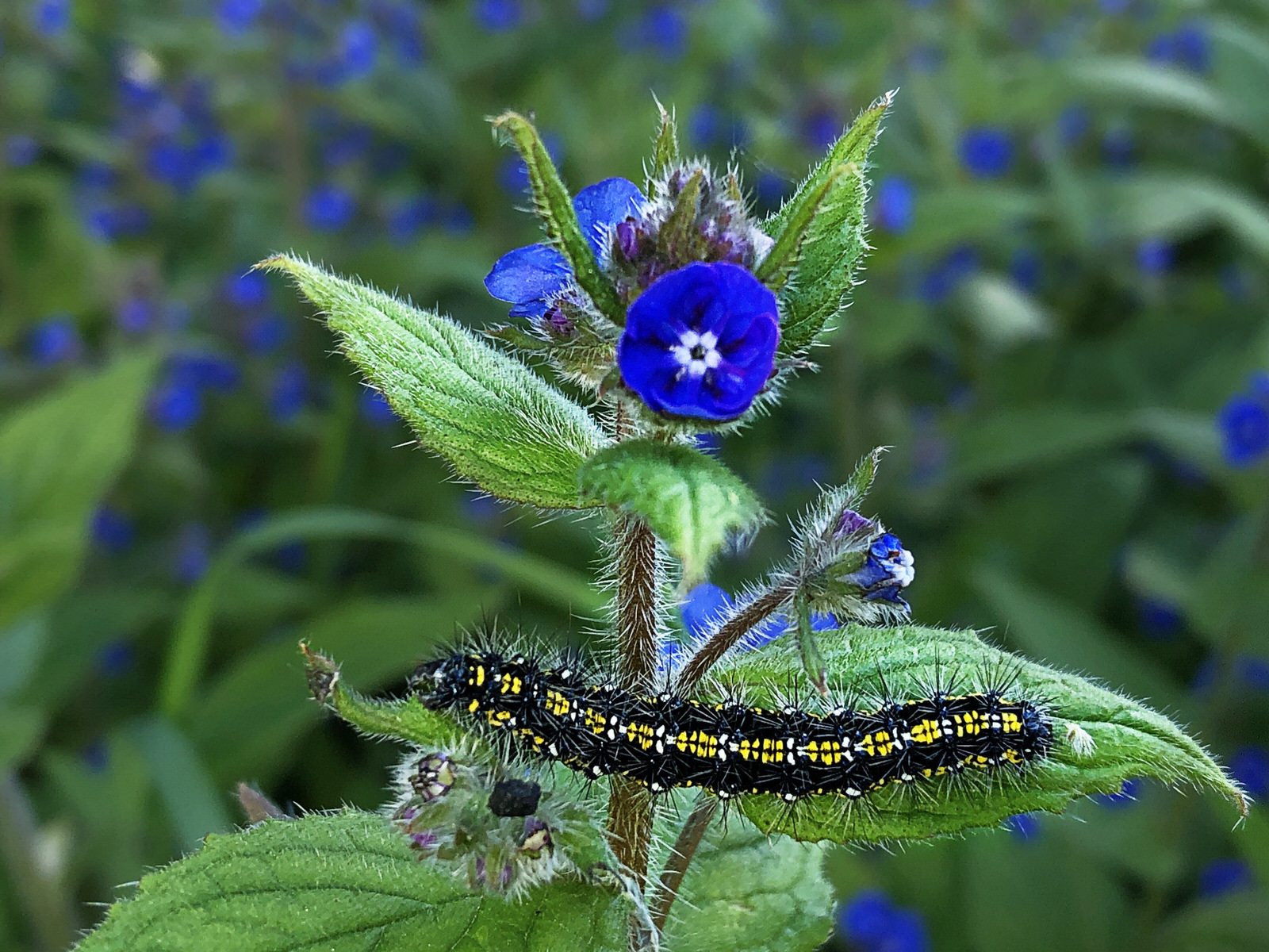 Vivid striped caterpillar on Sweet Nettle flower