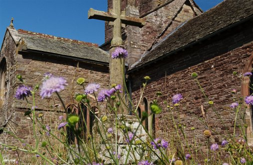 Wildflowers surround the preaching cross in Weobley churchyard