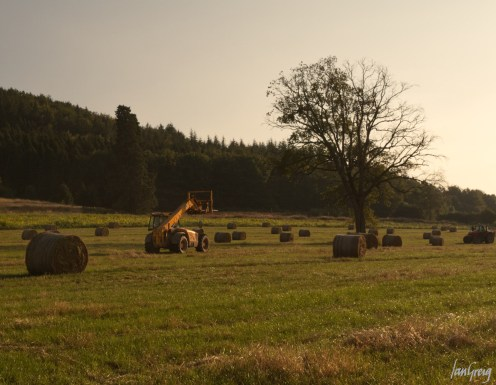 Clearing field of round straw bales in evening light