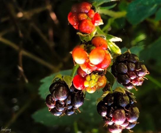 Red and dark bramble berries