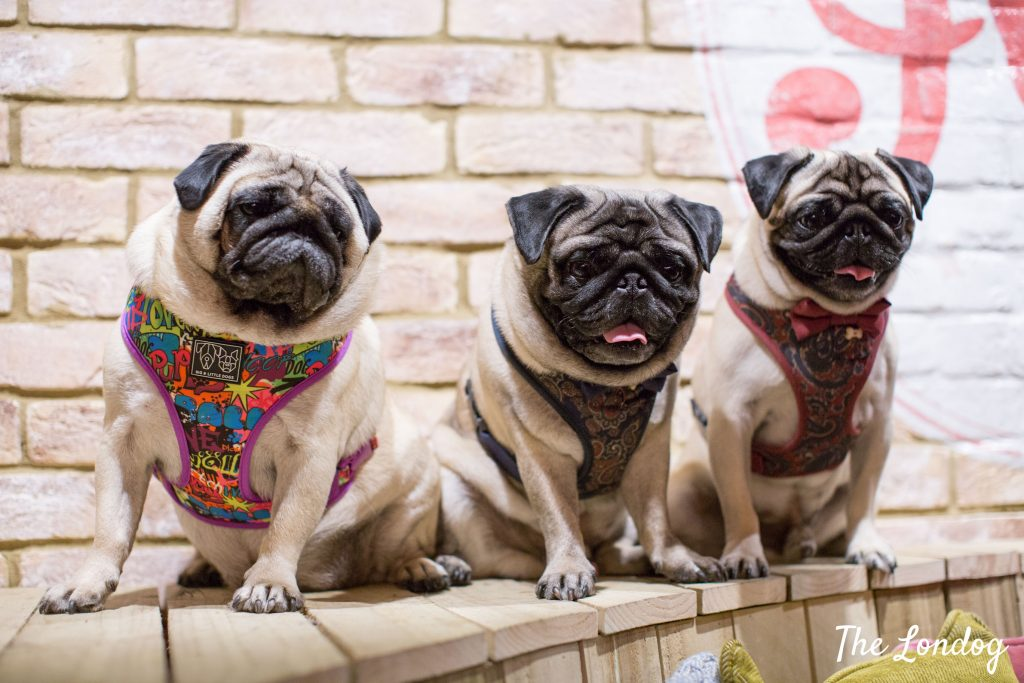 pugs at dog event