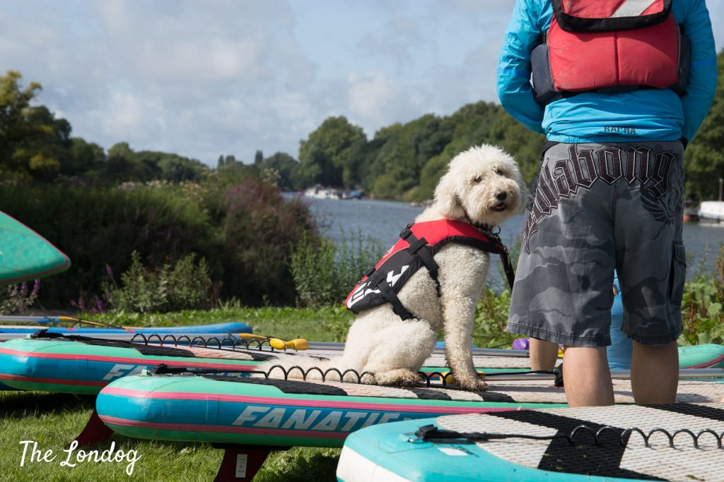 White poodle sitting on SUP
