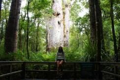 Kauri Trees are huge!
