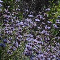 Salvia Winifred