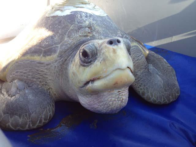 sea turtle afropix-1