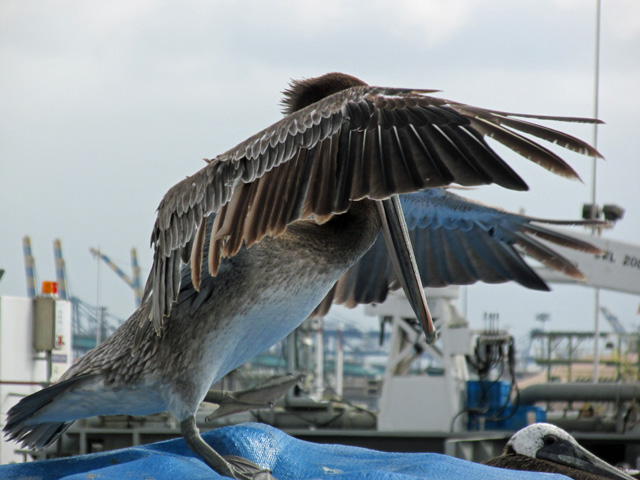 a pelican doing some wing-flap in pedro