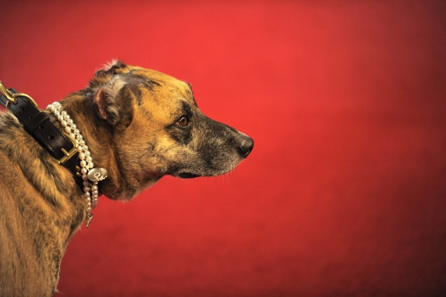 """Hero dog Susie attends the American Humane Association's 4th Annual """"Hero Dog Awards"""" at the Beverly Hilton Hotel on Saturday, Sept. 27, 2014, in Beverly Hills, Calif. (Photo by Chris Pizzello/Invision for American Humane Association/AP Images)"""