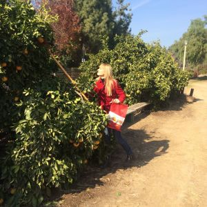 The author uses a citrus picker (photo by Thomas Kreuzer)